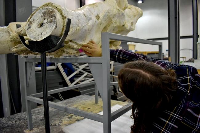 Primitive Elephant Skull is the complete skull fossil belonging to Choerolophodon Pentelic